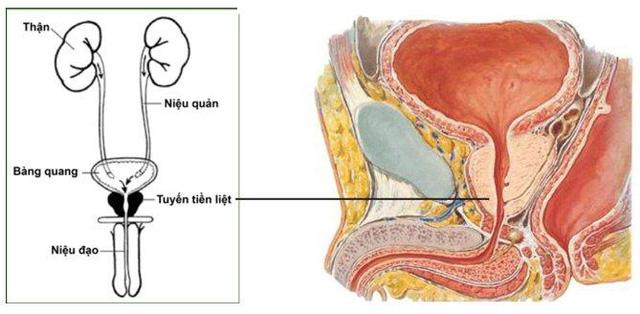 Dấu hiệu và triệu chứng của bệnh u xơ tuyến tiền liệt